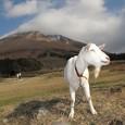 大山の笑顔のヤギ