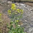 千種川の菜の花と沈下橋