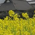 千種川の菜の花畑