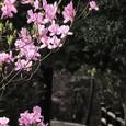 早咲きのツツジ(3月)