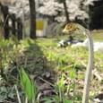 川代公園のワラビと桜