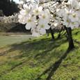 川代公園の桜①