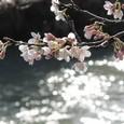 川代公園の桜②