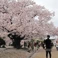 姫路城西の丸の桜