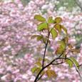 八重桜と新芽