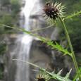 タイアザミと五色の滝