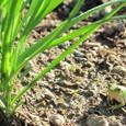 菜園のニラとカエル